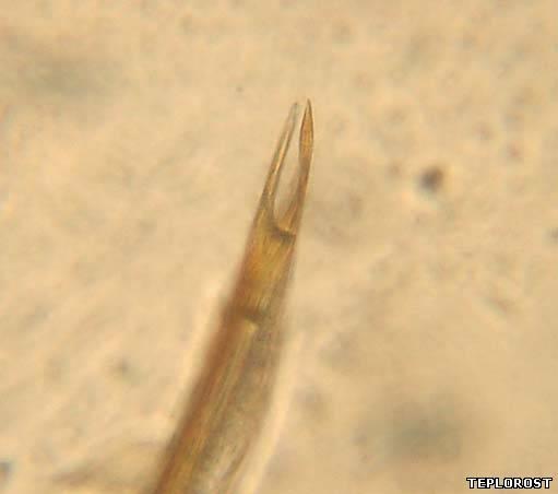 Комар под микроскопом фото зубы 91